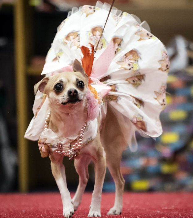 Dogs dress up for pooch pageant in Wetherby - BBC News