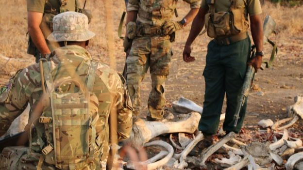 Soldiers examine poached elephant tusks