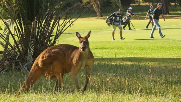 A Kangaroo Stands Next To A Golf Course In Western Australia