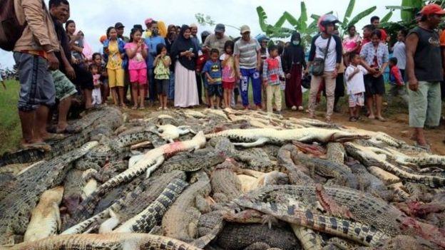Curiosos observam crocodilos mortos na Indonésia