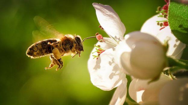 Uma abelha colhendo polén de uma flor