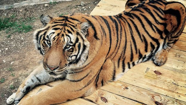 does the us have a pet tiger problem bbc news
