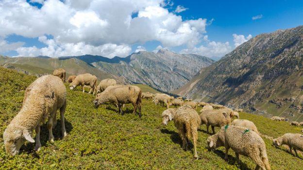 ovelhas pastando nas montanhas da Caxemira