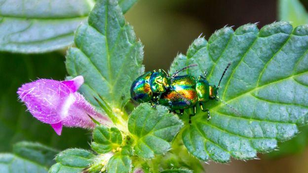 A Snowdon leaf beetle