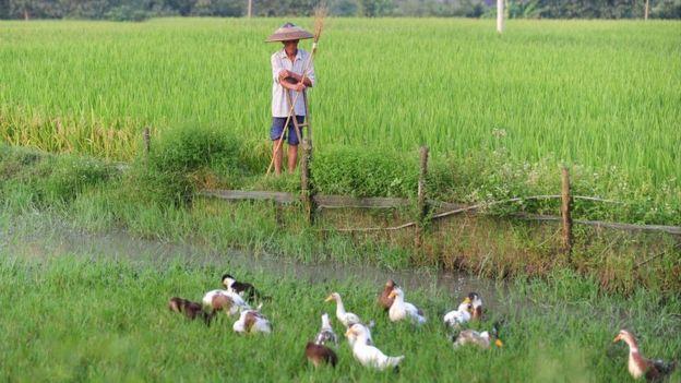 一名農夫在看顧著他飼養的鴨子