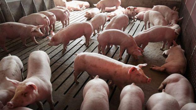 cerdos en Estados Unidos