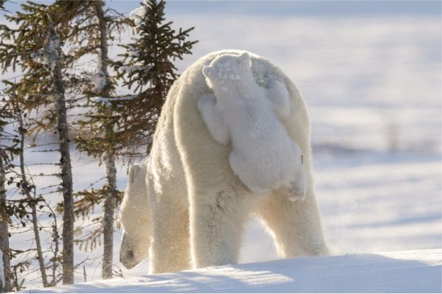 Polar bear with its young. Photo: Daisy Gilardini