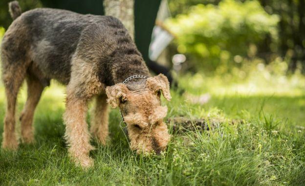 Perro come hierba.