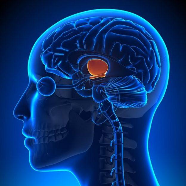 Ilustração anatômica do hipotálamo - em laranja no centro do cérebro