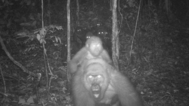 Cross River gorillas