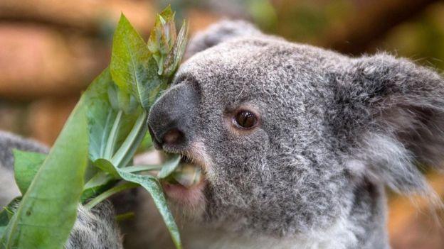 يزيد التغير من المناخي من احتمالات نفوق الكوالا جوعا