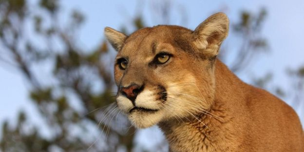 Living With California Mountain Lions