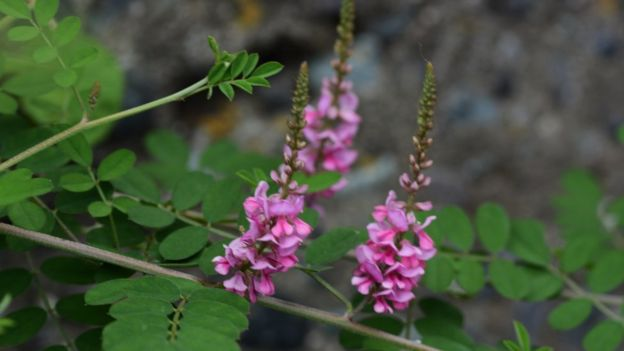 Flores de añil