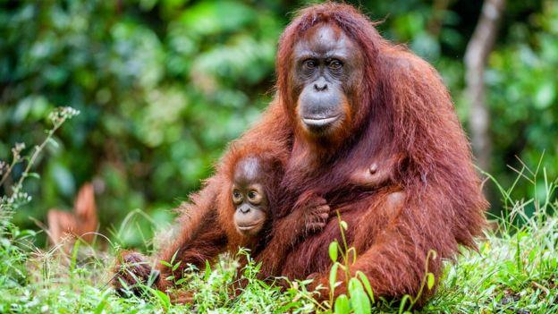 اورانگوتان بورنئو در نواحی اختصاص داده شده به کشت نخل یافت می شود