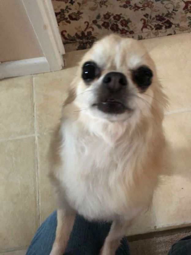 Owner's hope after dog 'ran off with pet Chihuahua in mouth
