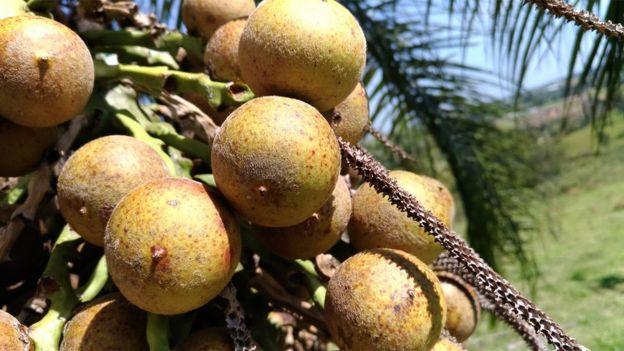 Fruto da macaúba