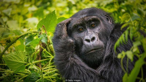 Hãy nhìn vào đôi mắt của một con khỉ đột, và bạn sẽ biết rằng mình đang bị soi xét bởi một trí tuệ khác