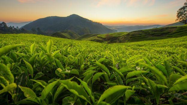 زراعات الشاي في تلال الكاميرون في ماليزيا