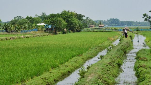 Rice field in Bangladesh