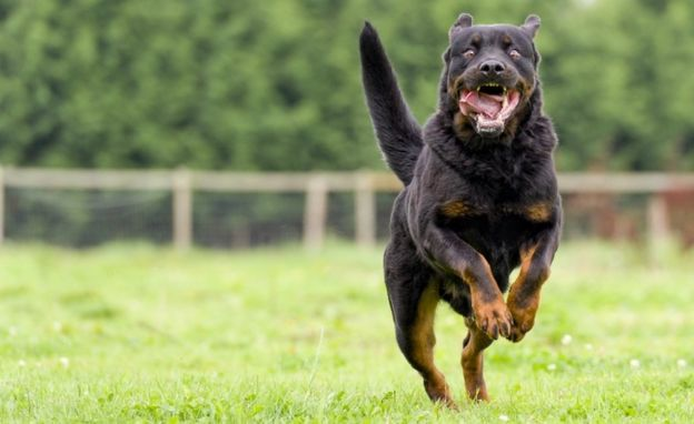 A large fierce dog approaching at speed
