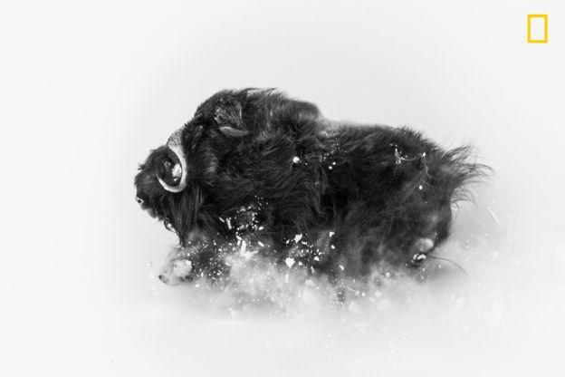 Buey en la nieve.