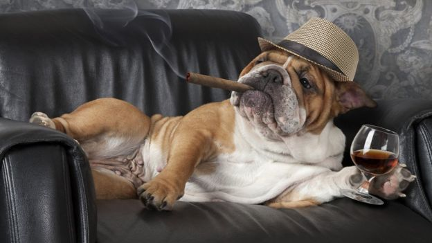 kanepede ağzında puro ve kanyakla oturan bir köpek.