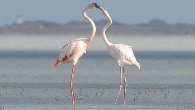 Flamingos in a salt lake in Limassol, Cyrprus