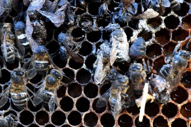 گفته میشود کاهش شمار زنبورها در جهان با استفاده از حشرهکشهای نئونیکوتینویدی ارتباط دارد