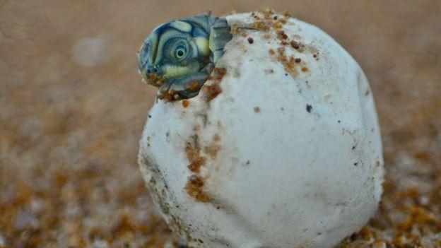 Filhote da tartaruga-da-amazônia; estudo aponta cerca de 2.000 ninhos de tartaruga nas praias às margens do rio Juruá, na Amazônia