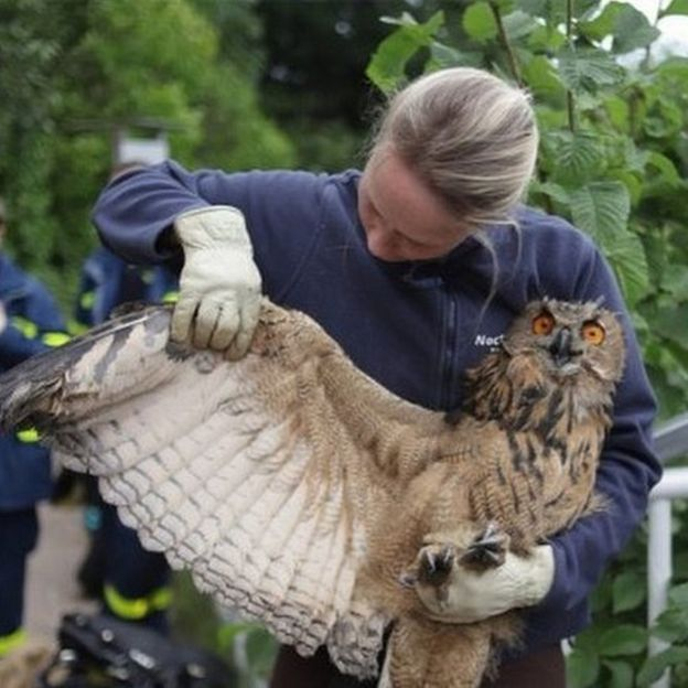 rescued owl