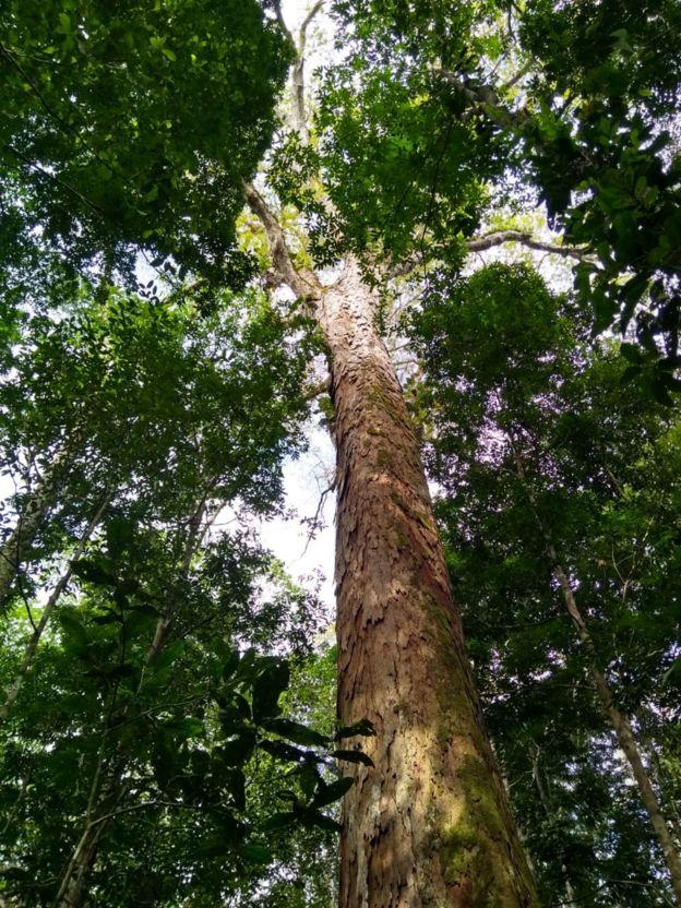 Árvore gigante da Amazônia encontrada no Pará
