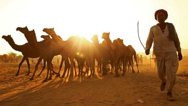 Homem com camelos no Rajastão
