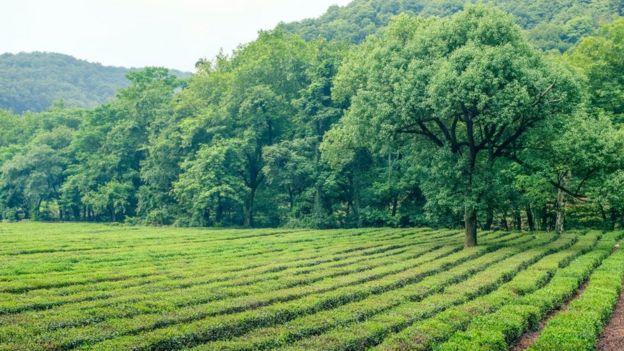 Campos de té verde.