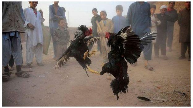 मुर्ग़ों की लड़ाई