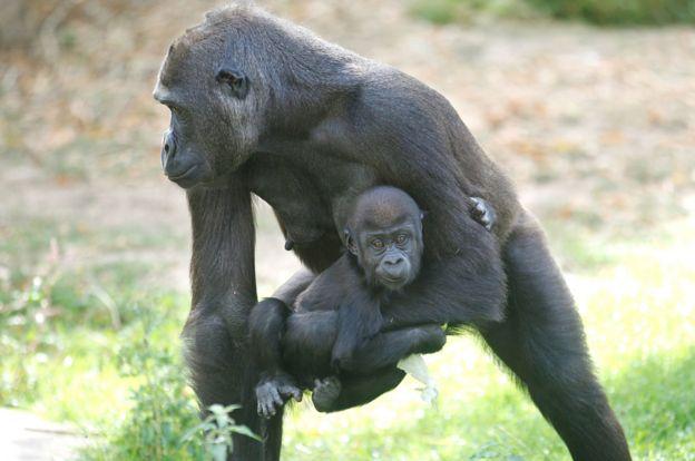Surviving gorillas, file pic, 6 Sep 19