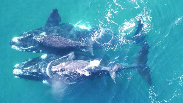 Ballenas francas australes con sus crías