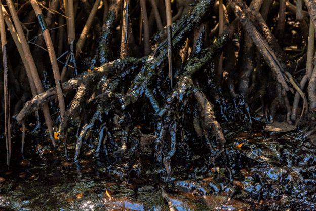 Raízes manchadas de óleo em mangue na Bahia