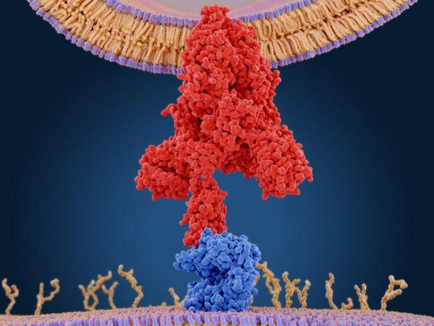 Proteína del coronavirus (en rojo) se aferra a una enzima de la célula humana (en azul)