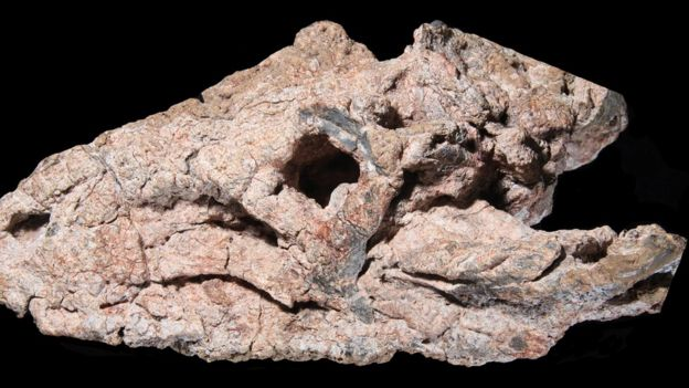 Crânio fossilizado do réptil Pagosvenator candelariensis, que viveu há 237 milhões de anos