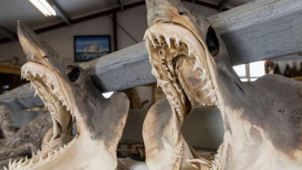 Tubarões secando