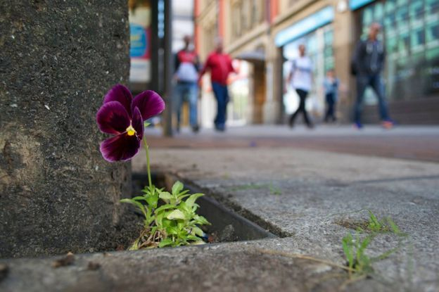 Pansy in Oxford Road, Manchester