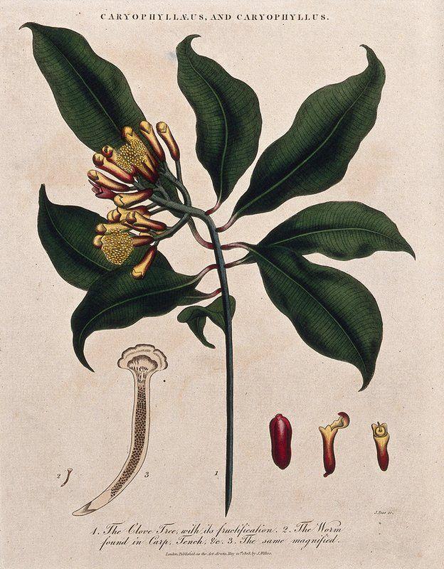 planta de clavo