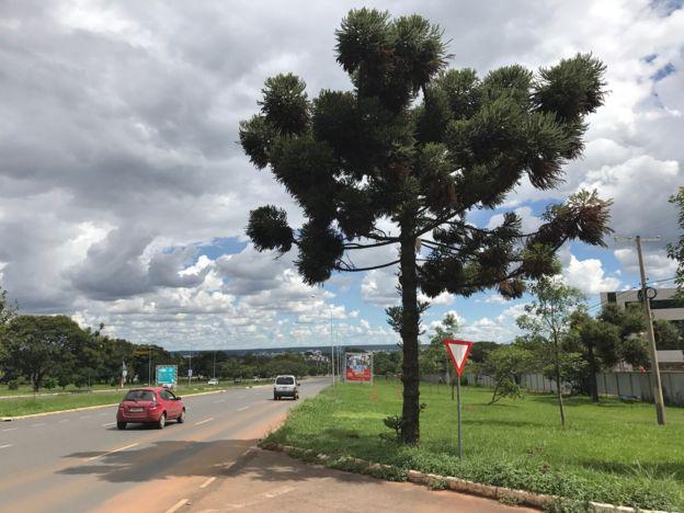 Araucária no Parque da Cidade, em Brasília