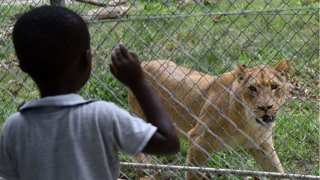 A child looks at a lion inside an enclosure at Abidjan zoo