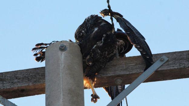 Águila electrocutada en una torre de electricidad con una ala separada del cuerpo por la descarga eléctrica.