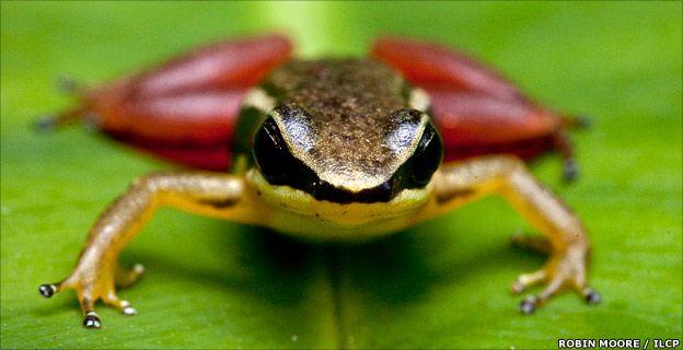 New species of rocket frog