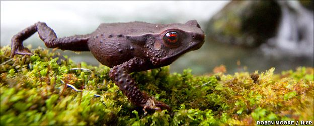 New species of red-eyed toad