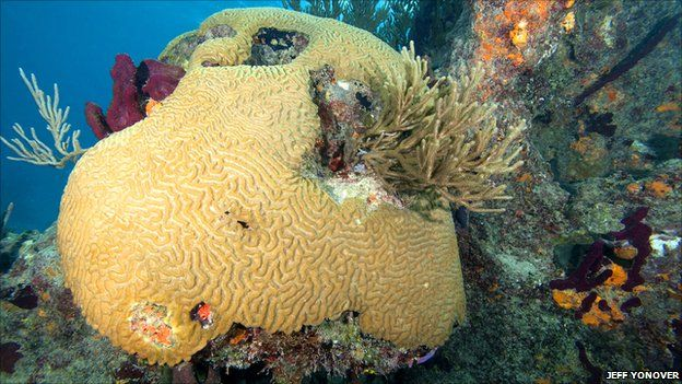 Healthy brain coral, Bahamas