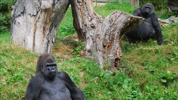 Gorillas at Durrell
