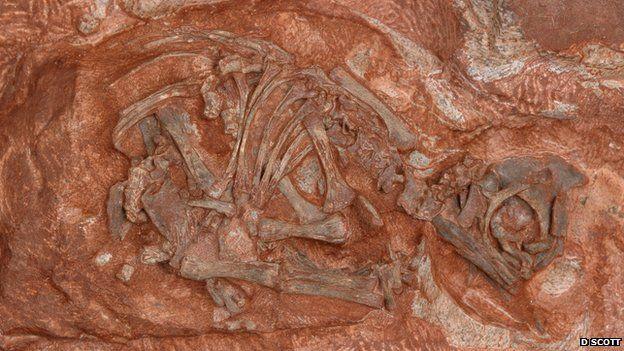 Embryonic Massospondylus skeleton (D Scott)